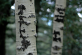 birch trees digital photography scar cut bark initials carved forest nature
