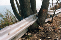film photograph tree trunk multiple split fence swallow rail railing metal roadside engulf grow around weird funny