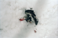 film photograph snow winter dead pigeon feathers legs pink sticking out snowbank sad