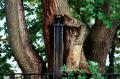 film photograph tree fencepost swallowed growing around warped