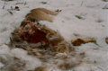 film photograph winter snow roadkill deer innards intestines fur frozen blood cross section