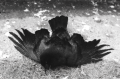 dead crow film photograph black and white lying stomach sidewalk