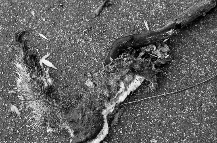 film photograph dead squirrel pavement black and white branch squashed head skull