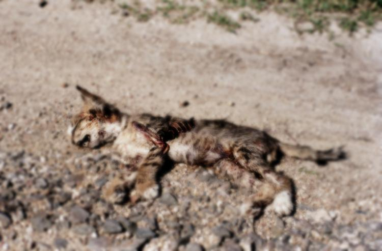 film photograph dead kitten cat ribs ribcage bones road