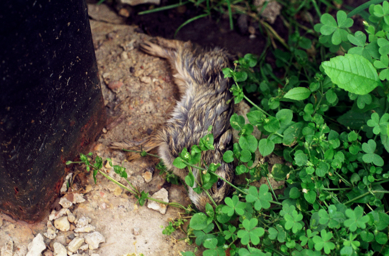 film photograph dead rabbit baby bunny clover