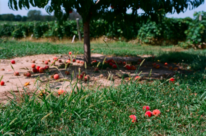 film photography portrait summer peach orchard tree fallen