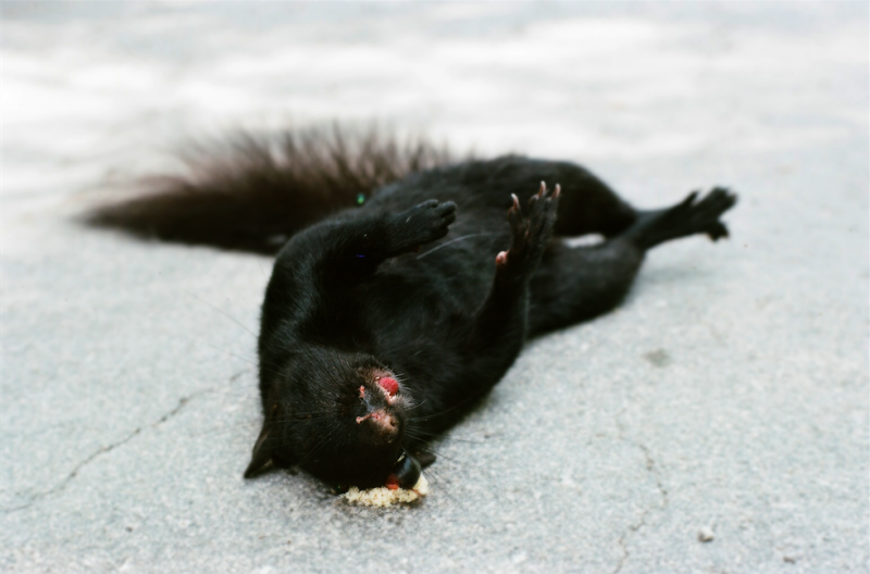 film photography roadkill  black squirrel sad exploded eyeball pavement