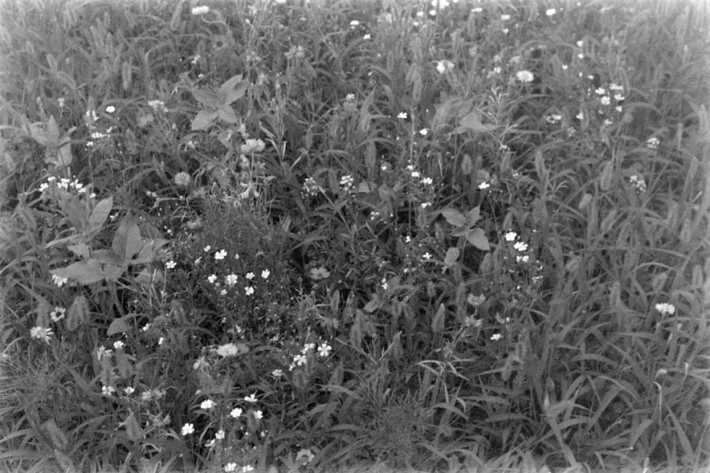 film photography black and white flowers wildflowers