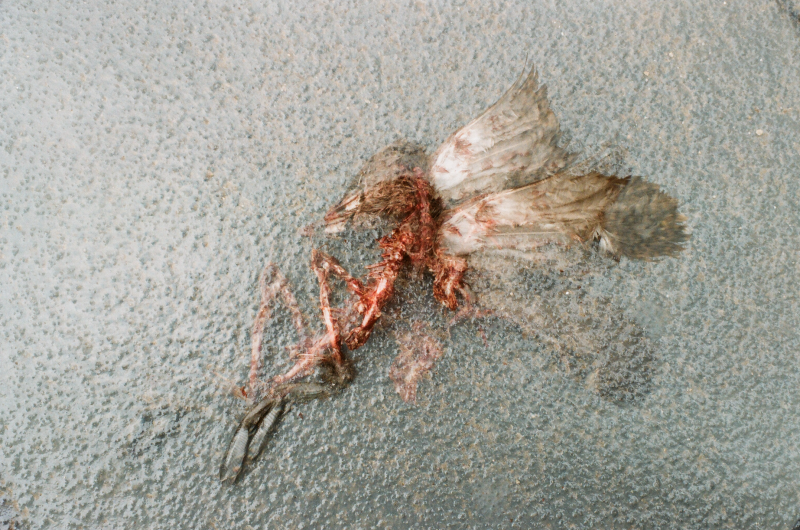 dead bird carcass eaten wings double exposure insect spinal column pavement hawk prey