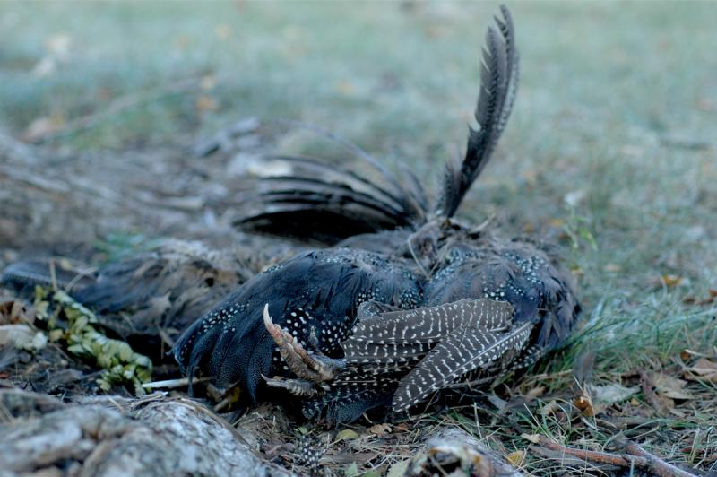 photograph of a dead ruffed grouse remains on the ground feather sticking up claws spotted speckled carcass dead still life nature