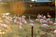film photograph flamingos fence zoo boke bokeh blur group sun spot sunspot lens dreamy grainy retro vintage