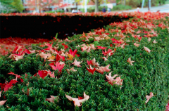 film photograph green hedge bush autumn fall red leaves fallen maple contrast