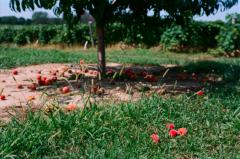 film photography portrait summer peach orchard tree fallen