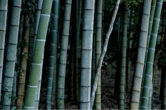 Photograph of a bamboo forest texture stalks stems green geometric nature