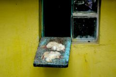 photograph of two dead chicks on a blue board sticking out of a window in a yellow wall sad meal zoo strange bizarre surreal