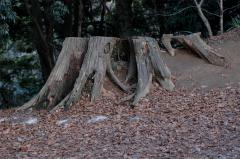 photograph of a side view of a tree stump lopped off cut off profile autumn fallen leaves hill slope strange angle perspective side bizarre weird forest