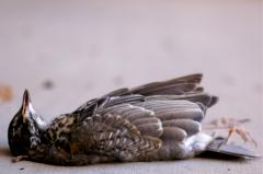photograph of a dead bird on its back profile feathers sad fresh remains nature