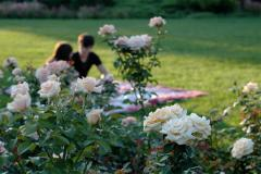 photograph of a couple sitting behind rose bushes cute romantic blur indistinct blossom blooming sunlight warm date tete-a-tete composition sweet