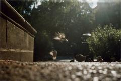 film photograph of young sparrows summer leaves bushes dappled light play flight midflight midair freezeframe motion shadows exposure double warm cute birds young playing eating